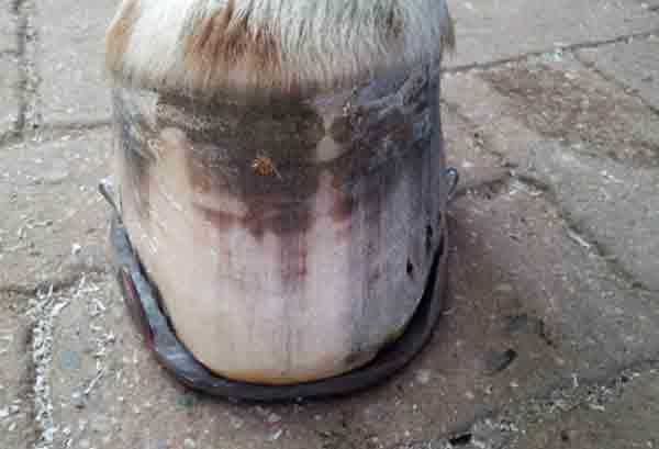 Pferdehuf mit Kunstharz ausgefuellt